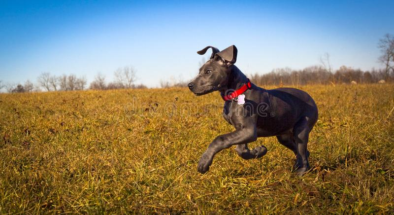 Śliczny błękitny Great Dane szczeniak biega z lewej strony w polu z niebieskimi niebami zdjęcia royalty free