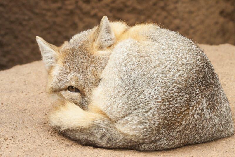 Śliczny błyskawiczny lis zdjęcie royalty free