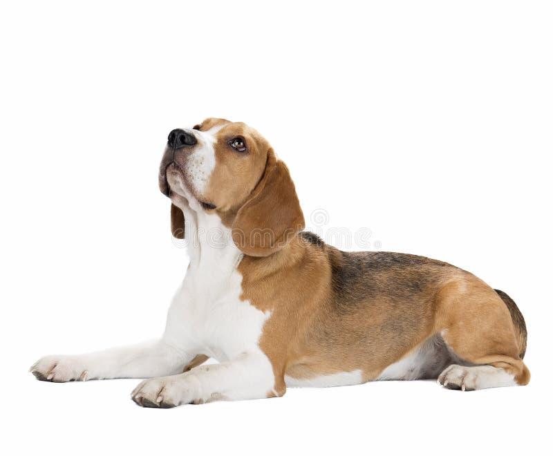 Śliczny beagle pies odizolowywający obrazy stock