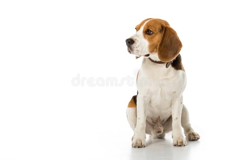 śliczny beagle pies w kołnierzu patrzeje daleko od obraz stock