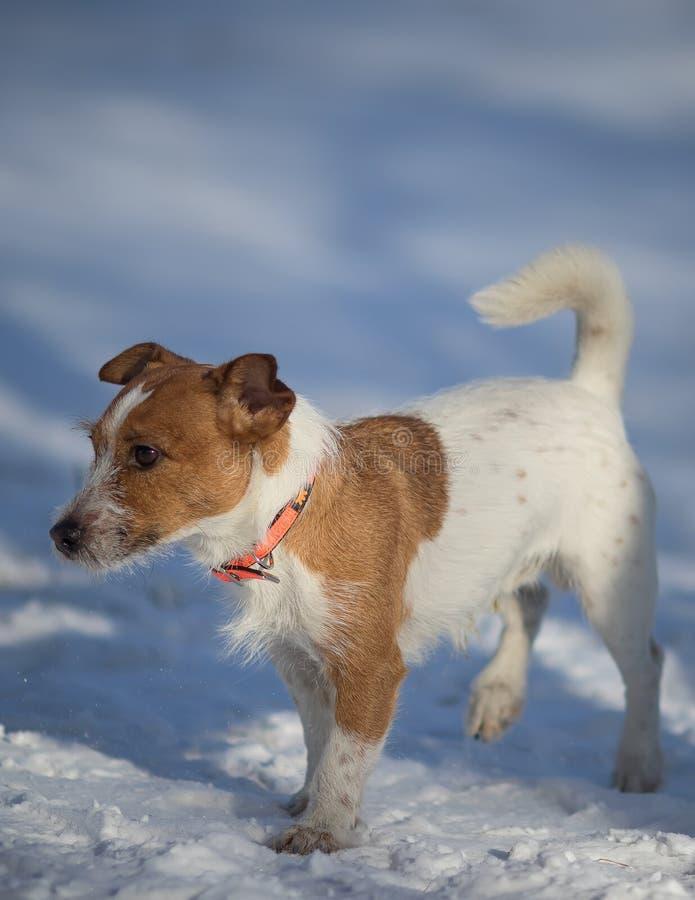 Śliczny Biały Brown Jack Russell Terrier psa odprowadzenie na śniegu fotografia stock
