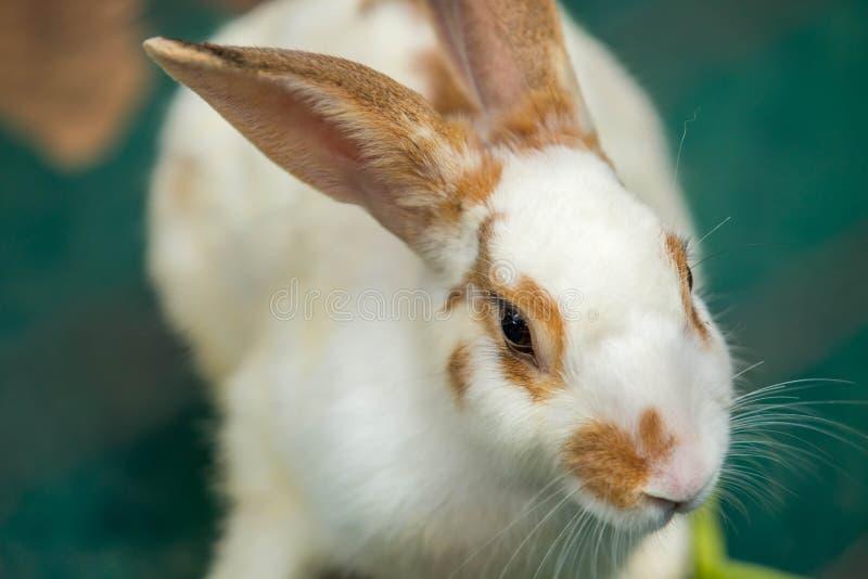 Śliczny biały brown królika sen na podłoga obrazy royalty free