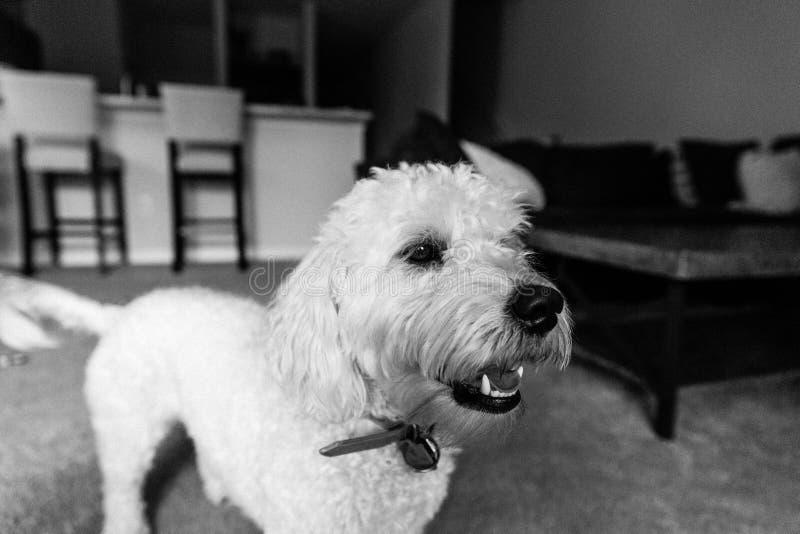 Śliczny Biały Mini Złoty Doodle szczeniaka pies z Miękkim Kędzierzawym futerkiem Bawić się Wśrodku Domowy ono Uśmiecha się Dla ka obrazy royalty free