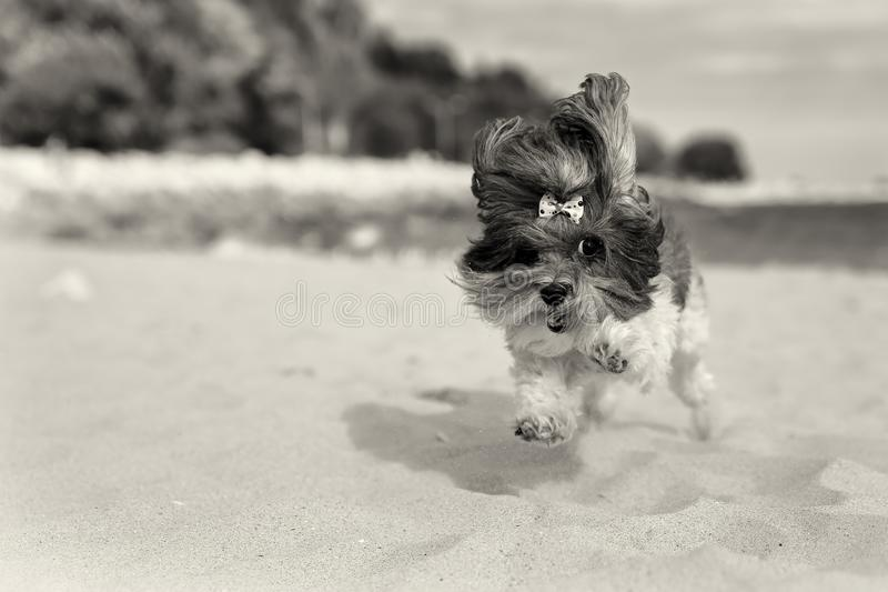 Śliczny Bichon Havanese pies biega happilly na plaży Sepiowy stonowany wizerunek, płytka głębia pole, ostrość na oku fotografia stock