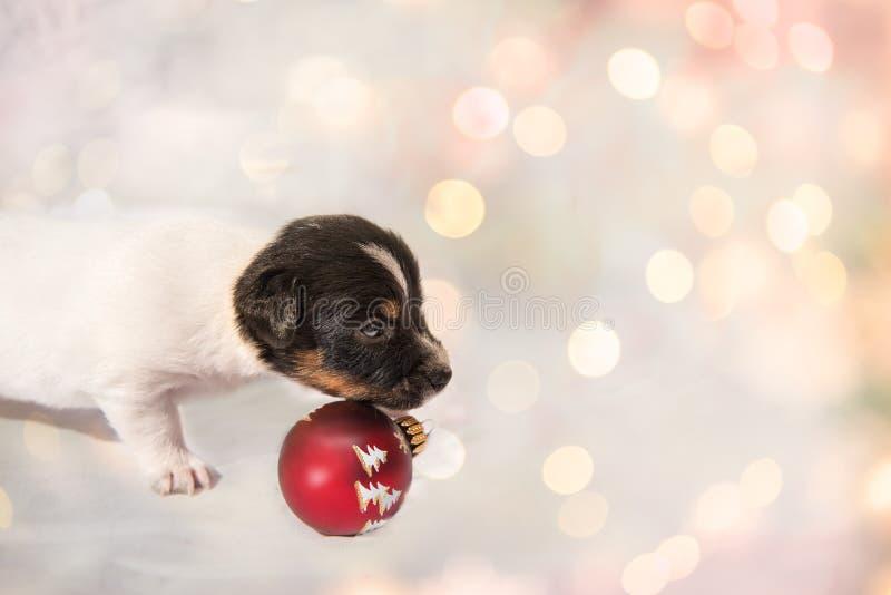 Śliczny boże narodzenie szczeniaka Jack Russell Terrier doggy obraz stock