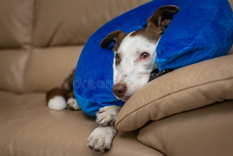 Śliczny Border Collie pies na leżance, jest ubranym błękitnego nadmuchiwanego kołnierz zdjęcie stock
