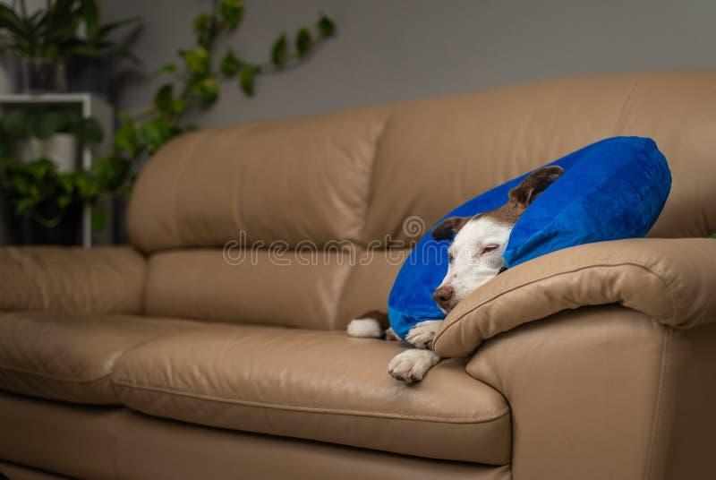 Śliczny Border Collie pies na leżance, jest ubranym błękitnego nadmuchiwanego kołnierz zdjęcie royalty free