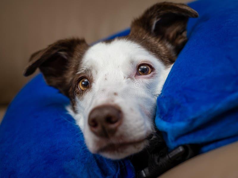 Śliczny Border Collie pies na leżance, jest ubranym błękitnego nadmuchiwanego kołnierz fotografia royalty free