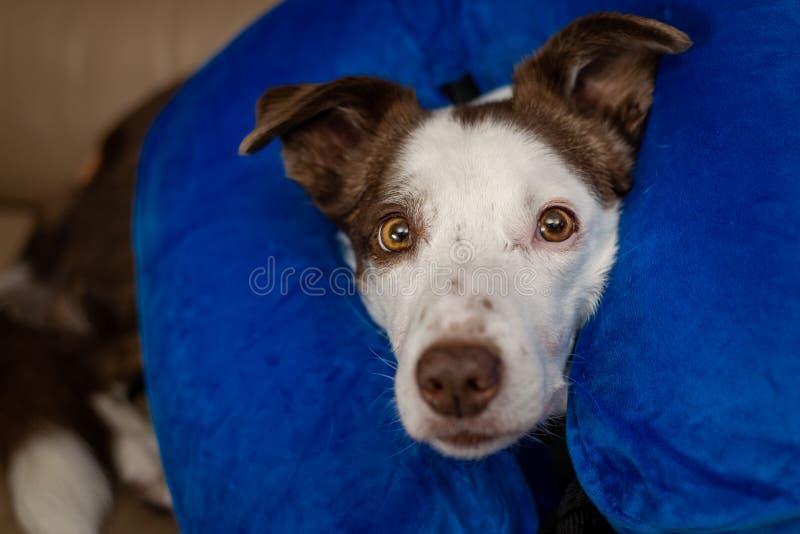 Śliczny Border Collie pies na leżance, jest ubranym błękitnego nadmuchiwanego kołnierz obraz royalty free