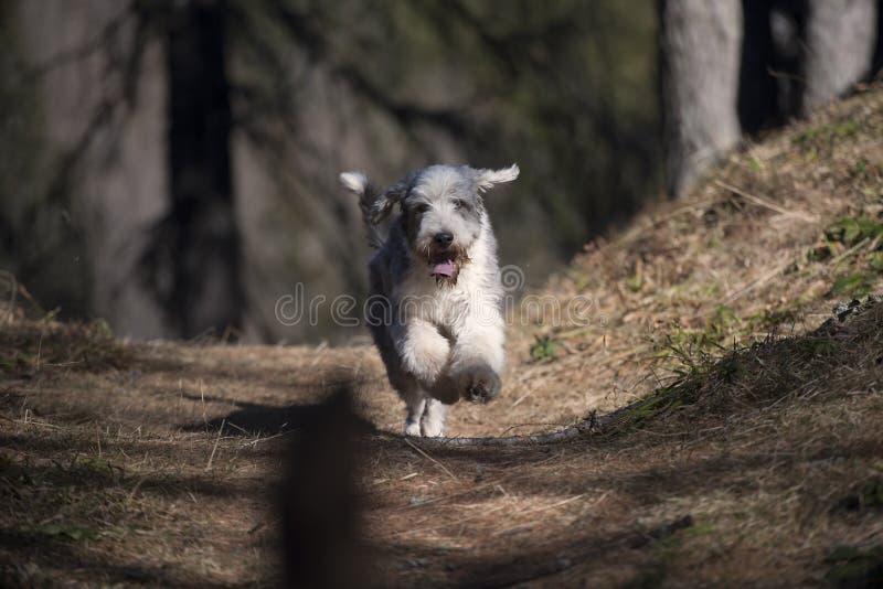 Śliczny Brodaty Collie bieg w lesie fotografia royalty free