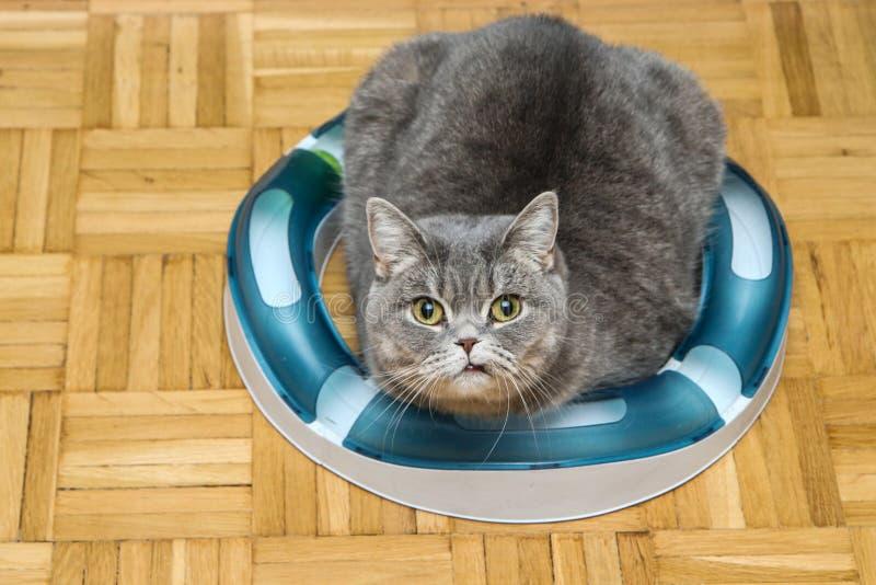 Śliczny brytyjski kot wśrodku swój zabawki obraz royalty free