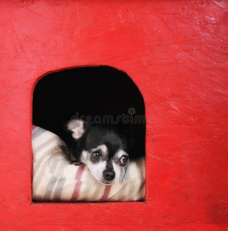 Śliczny chihuahua na poduszce w doghouse fotografia royalty free