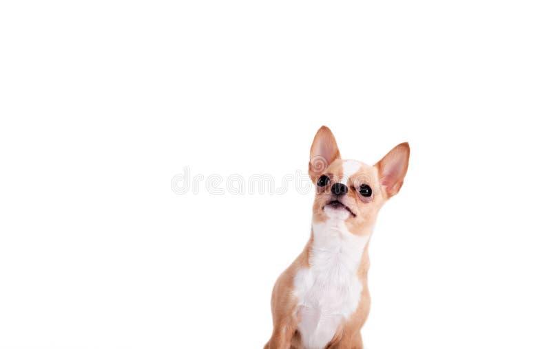 Śliczny chihuahua przyglądający w górę odosobnionego nadmiernego białego tła zdjęcie stock