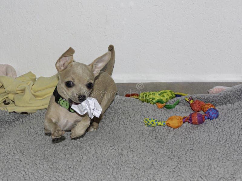 Śliczny chihuahua szczeniak Bawić się z zwitkiem papier zdjęcia royalty free