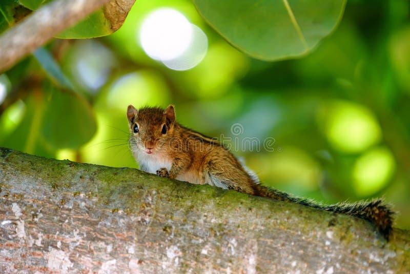 Śliczny chipmunk na drzewie zdjęcie royalty free