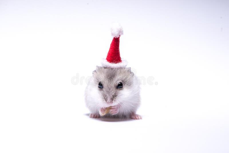 Śliczny chomik z Santa kapeluszem na białym tle zdjęcie stock