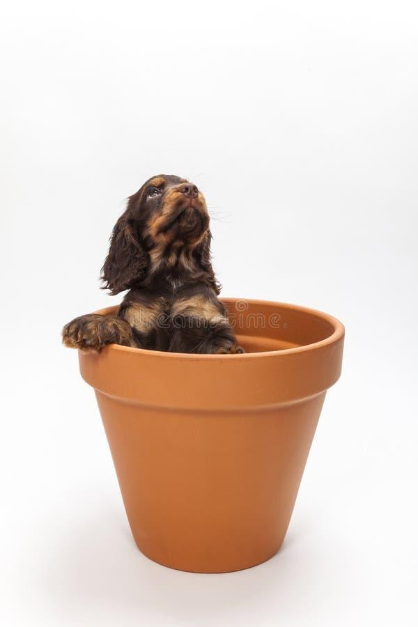 Śliczny Cocker Spaniel szczeniaka pies Przyglądający Up w kwiatu garnku obrazy royalty free