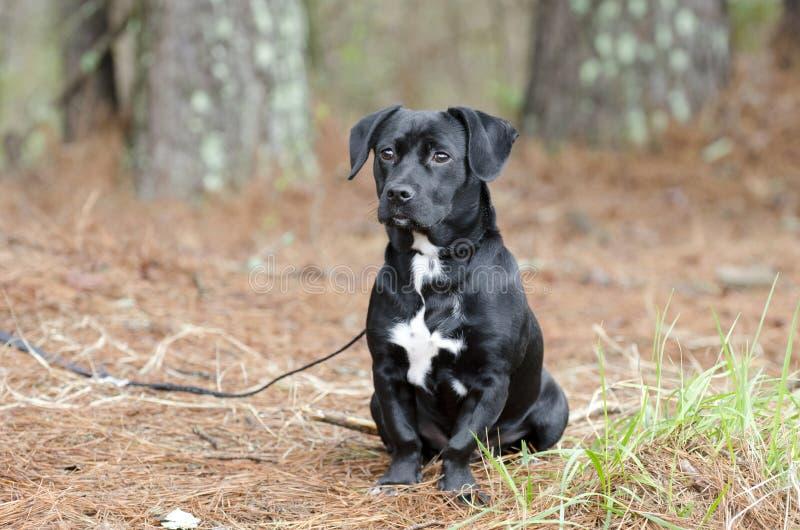Śliczny Czarny Beagle jamnik mieszał trakenu szczeniaka psa mutt fotografia stock