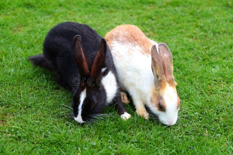 Śliczny czarny i biały królik na zielonej trawie obraz stock