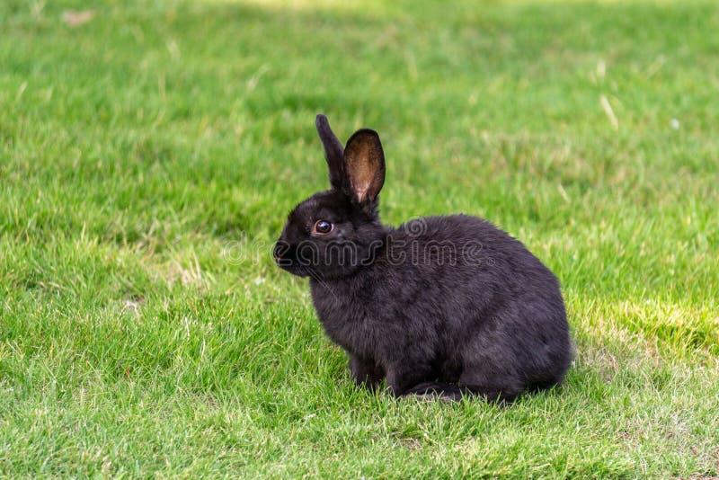 Śliczny czarny królik na zielonej trawy tła zbliżeniu fotografia stock