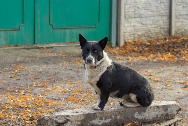 Śliczny czarny, krępy, mieszany trakenu pies siedzi blisko mistrzowskiej ` s bramy, fotografia royalty free