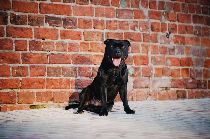 Śliczny czarny psa Teriera obsiadanie na ceglanym tle obraz royalty free