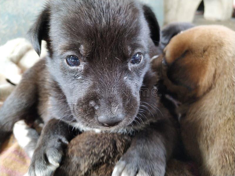 Śliczny czarny szczeniak siedzi na innym szczeniaku z pięknymi niebieskimi oczami obrazy stock