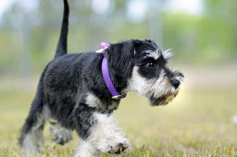 Śliczny czerni srebra Miniaturowego Schnauzer szczeniaka pies bada outdoors zdjęcia stock
