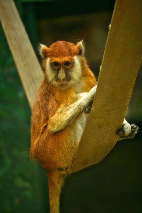 Śliczny czerwieni małpy Patas obsiadanie w hamaku obraz stock