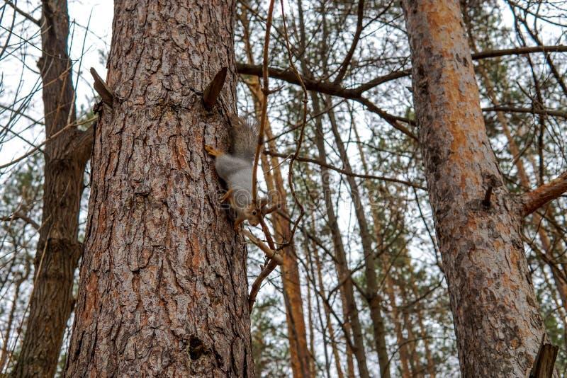 Śliczny czerwonej wiewiórki zwierzęcy obsiadanie na gałąź sosnowy las w pogodnym wiosna dniu w przyrod drewnach Zadziwiający obra fotografia royalty free