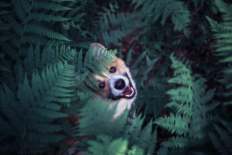 Śliczny czerwony szczeniaka psa corgi na spacerze w lato parku chował w gęstych gąszczach paprociowi liście i podpatruje śmieszne fotografia stock