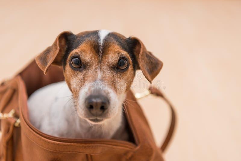 Śliczny dźwigarki Russell doggy w torbie zdjęcie royalty free