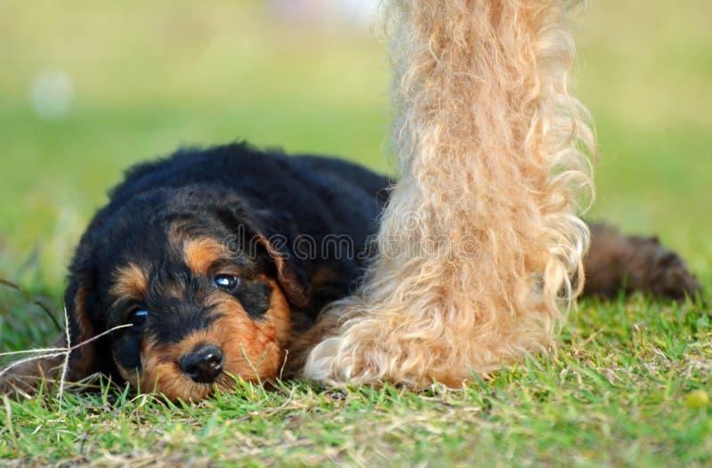 Śliczny dziecka Airedale Terrier szczeniak zadawalający z matka psem ochrania ona zdjęcie stock