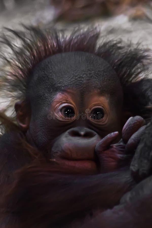 Śliczny dziecka orangutan, delikatna ręka zdjęcie stock