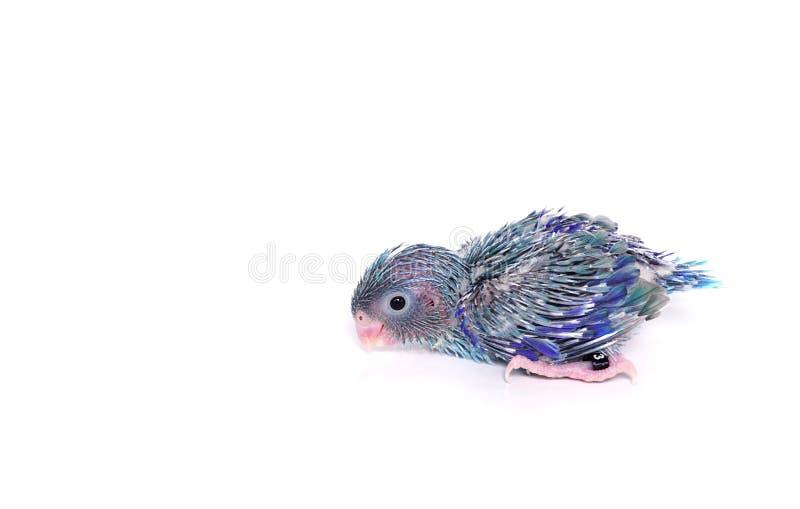 Śliczny dziecko Pacyficzny Parrotlet, Forpus coelestis (15 dni starych) fotografia royalty free