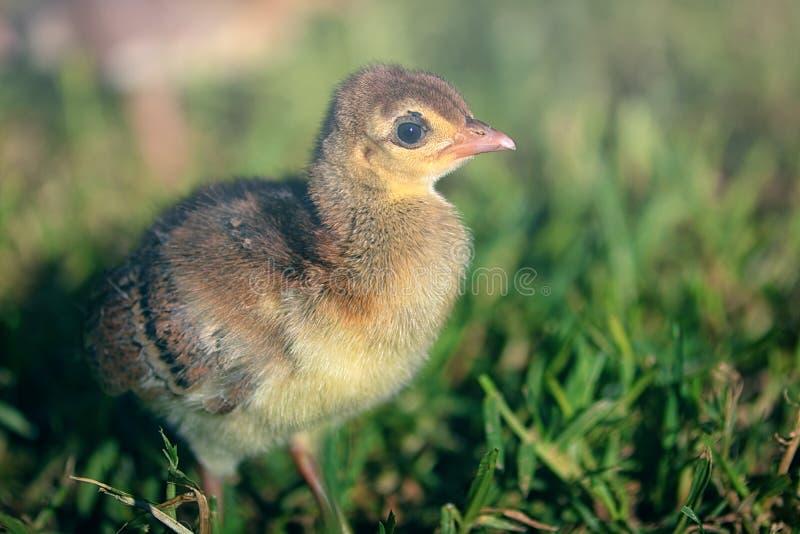 Śliczny dziecko paw w trawie obraz stock