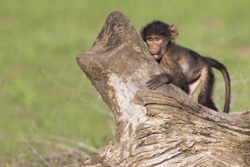 Śliczny dziecko pawian siedzi na drzewnym fiszorku bawić się obraz stock