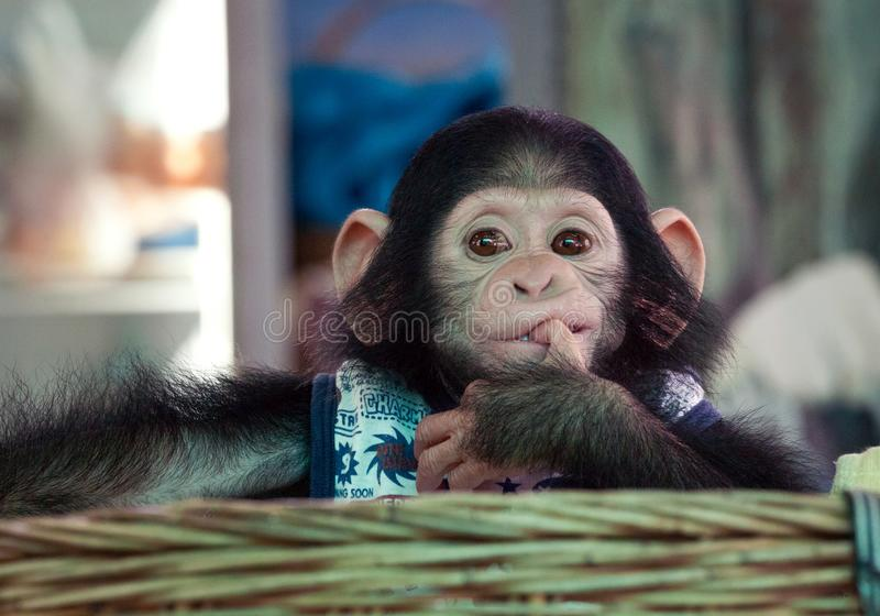 Śliczny dziecko szympans obrazy royalty free