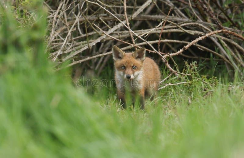 ?liczny dziki Czerwonego Fox lisi?tko, Vulpes vulpes, stoi przy wej?ciem sw?j melina fotografia stock