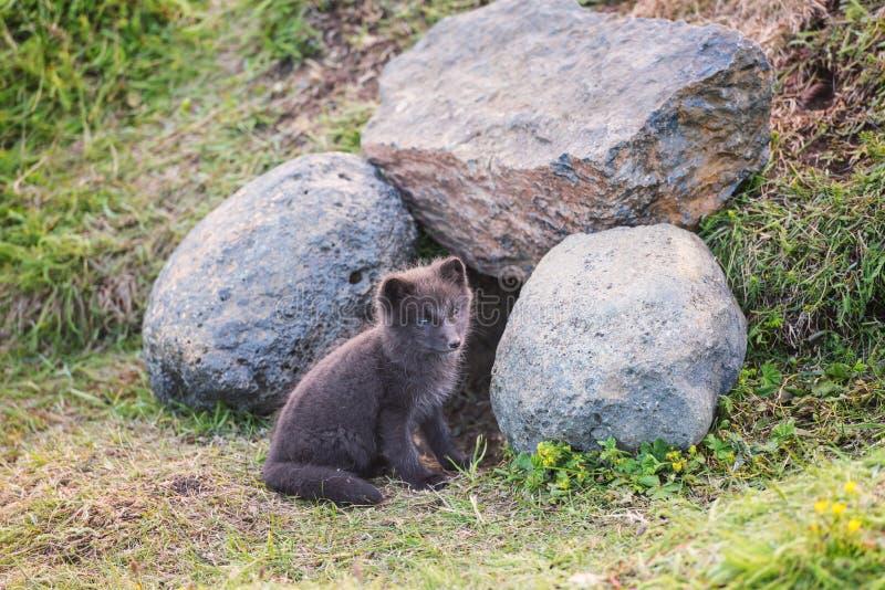 Śliczny dzikiego zwierzęcia dziecko, Arktycznego lisa lisiątko lub Vulpes lagopus w naturalnym siedlisku, fotografia royalty free
