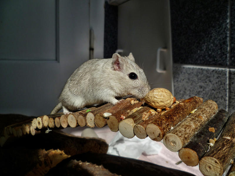Śliczny gerbil na drewnianym moscie zdjęcia royalty free