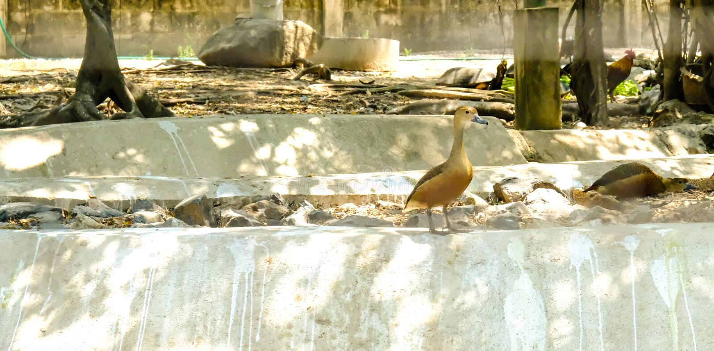Śliczny gwizdanie kaczki Dendrocygna javanica obraz stock