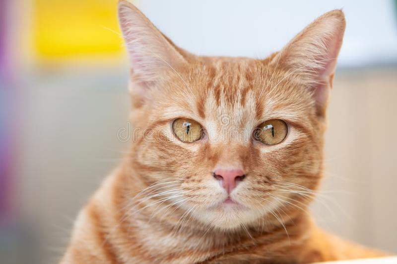 Śliczny i gnuśny kot pozuje kamera zdjęcie stock