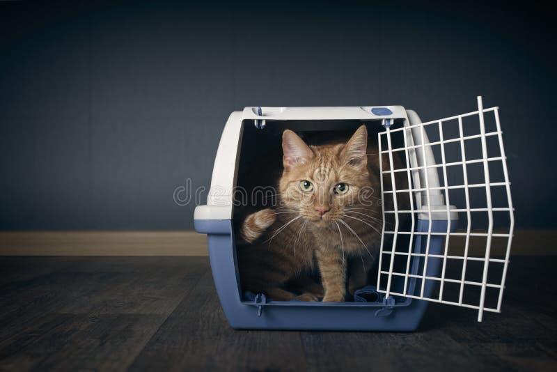 Śliczny imbirowy kot patrzeje niespokojny z otwartej podróży skrzynki obraz royalty free