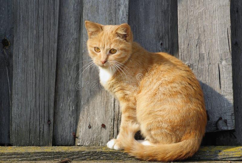 Śliczny imbirowy tabby kot zdjęcia royalty free