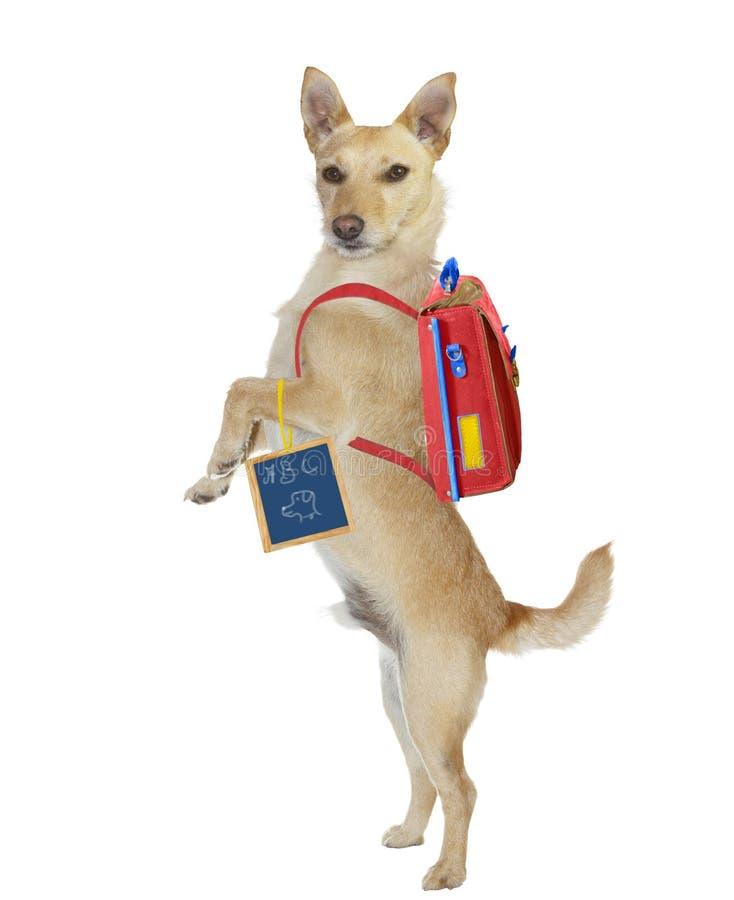 Śliczny szkolnej chłopiec pies jest ubranym plecaka fotografia royalty free