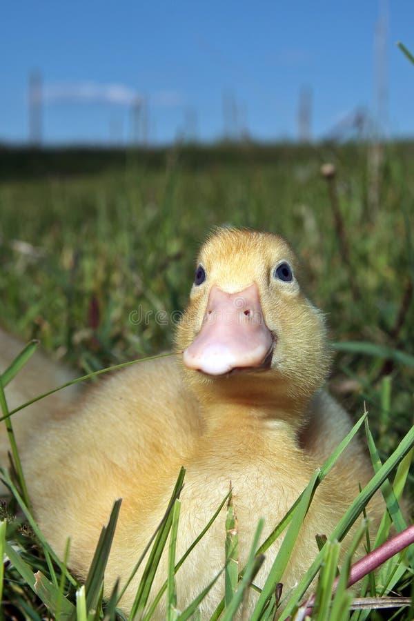 Śliczny kaczątko w trawie zdjęcie royalty free