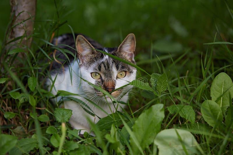 Śliczny kot czaije się w trawie Naturalne Światło fotografia stock