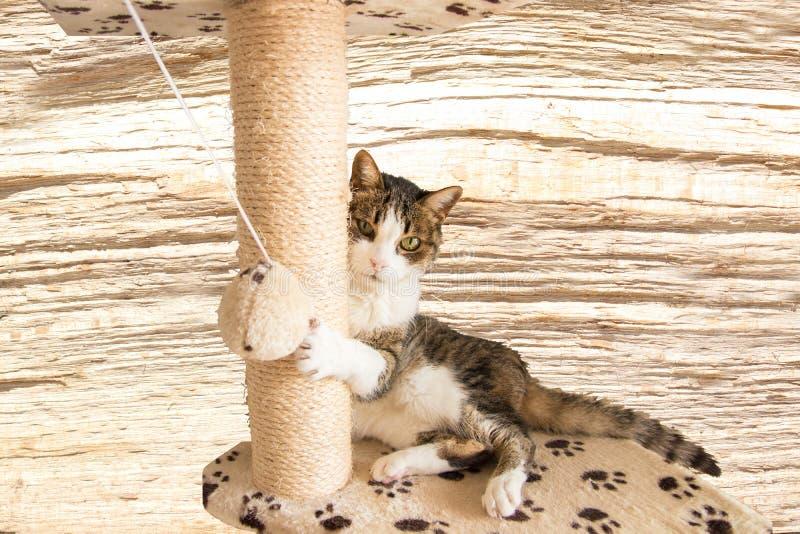 Śliczny kot Miri bawić się z piłką wewnątrz na wielo- równym kota drzewie dla zdjęcia stock
