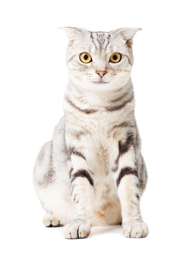 Śliczny kot nad białym tłem Zwierzęcy portret zdjęcie stock
